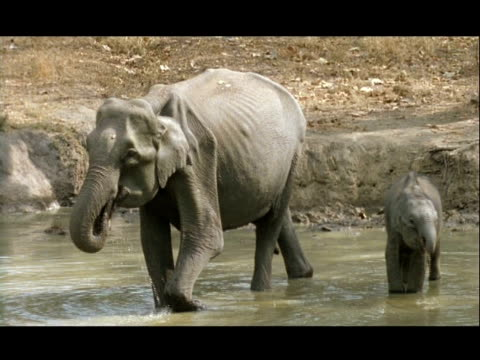 MWA High angle Asian elephant mother and baby drinking at Kolchi Waterhole, India