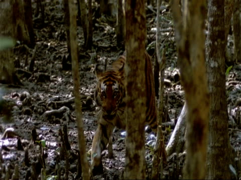 ms high angle, bengal tiger walking through mangrove forest, looks to camera, india - sumpf stock-videos und b-roll-filmmaterial