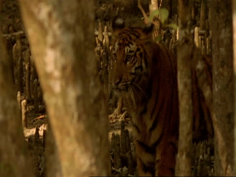 ms high angle, bengal tiger walking through mangrove forest, stands alert and walks on, india - sumpf stock-videos und b-roll-filmmaterial