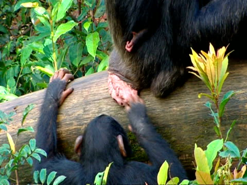 vídeos y material grabado en eventos de stock de ms high angle chimpanzee mother with baby, grooming another chimp, chimp takes hold of baby's hand and kisses it - chimpancé común
