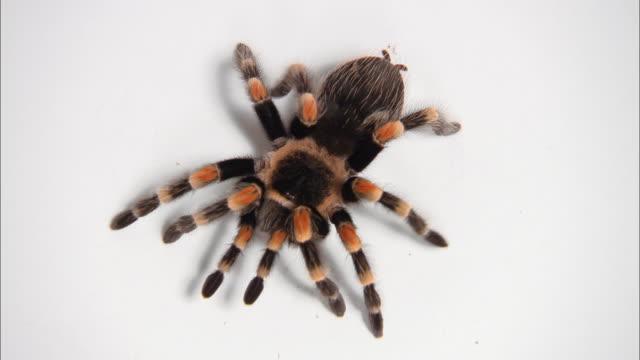 high angle close up chilean rose hair tarantula crawling - crawling stock videos & royalty-free footage