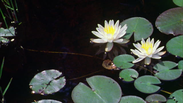 high angle close up pan water lilly floating in pond - lily stock videos and b-roll footage