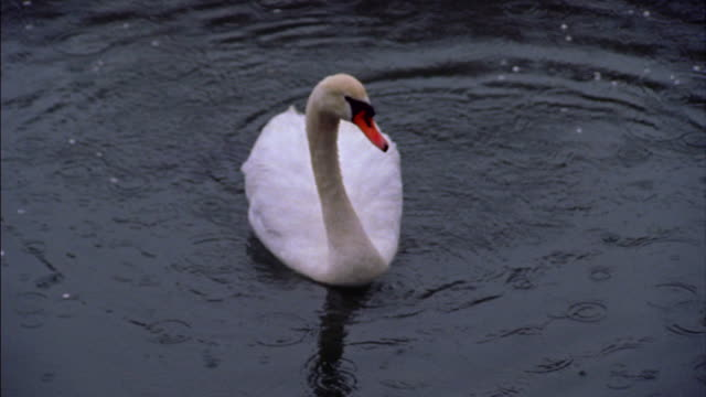 High angle close up swan floating surface of water as raindrops fall / Hikone, Japan