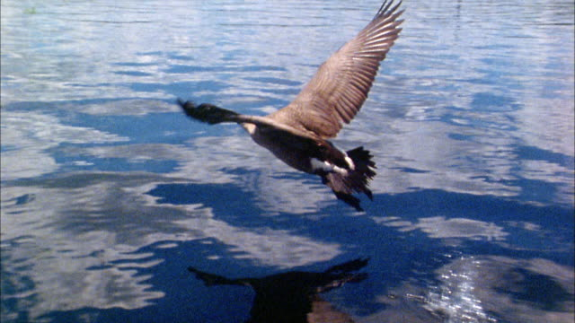high angle close up tracking shot goose flying over water - 1975年点の映像素材/bロール