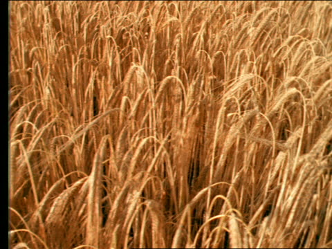 high angle close up tracking shot of blowing golden wheat in field
