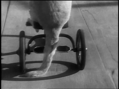 b/w 1936 rear view high angle close up tracking shot rear end + tail of dog riding tricycle - tricycle stock videos & royalty-free footage