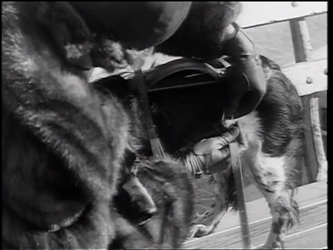 stockvideo's en b-roll-footage met b/w 1937 high angle close up woman in fur coat fastening leather strap onto dog's back / newsreel - winterjas