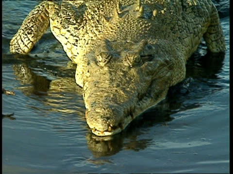 vídeos de stock, filmes e b-roll de cu high angle, crocodile crawls to shore - vadear