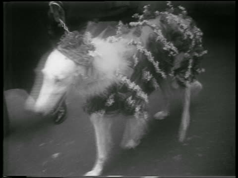 B/W 1952 high angle dog in costume being led by owner / Easter / NYC / newsreel