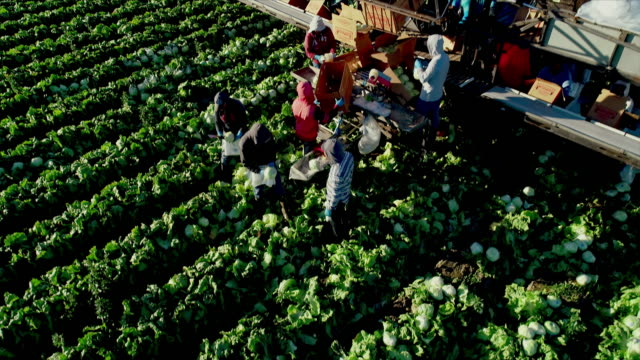 ws high angle down view of farm field with workers harvesting and packing lettuce into cardboard boxes that are loaded onto conveyer belt of packing machine - lavoratore agricolo video stock e b–roll