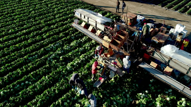 ws high angle down view of farm field with workers harvesting sorting and packing heads of lettuce and loading into boxes - farm worker stock videos & royalty-free footage