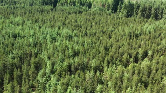 stockvideo's en b-roll-footage met hoge hoek dronemening van een gebied van bos in landelijk zuidwesten schotland - pinaceae