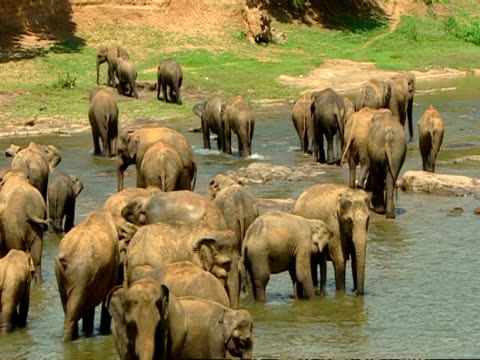 MWA High angle, Elephants in river, some walking out of river