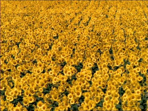 high angle field of sunflowers / southern france - region provence alpes côte d'azur stock-videos und b-roll-filmmaterial