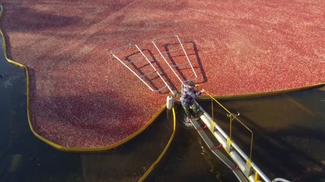 High angle footage of a cranberry bog being harvested at Cutler Cranberry in Camp Douglas Wisconsin on Wednesday Oct 18 2017 Videographer Daniel...