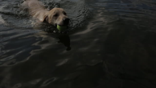 High angle footage of dog carrying ball in mouth while walking in lake