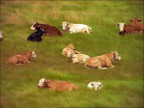 high angle group of cows lying in green grass in field / sakatchewan - pflanzenfressend stock-videos und b-roll-filmmaterial
