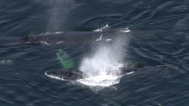 "vídeos y material grabado en eventos de stock de ""high angle hand-held-whales breach on the surface of the ocean. / alaska, usa"" - salir del agua"