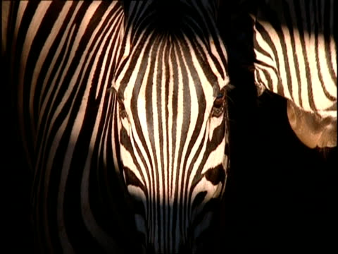 cu high angle head shot of zebra in shaft of sunlight, to camera then turns to side - contrasts stock videos & royalty-free footage