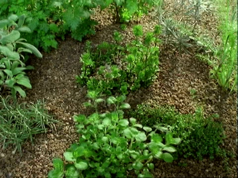 T/L High angle, herbs growing in stony ground. Mint, rosemary, thyme