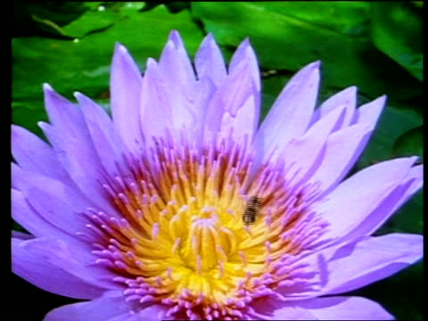 vidéos et rushes de mcu high angle, hoverfly landing on african water lily - étamine