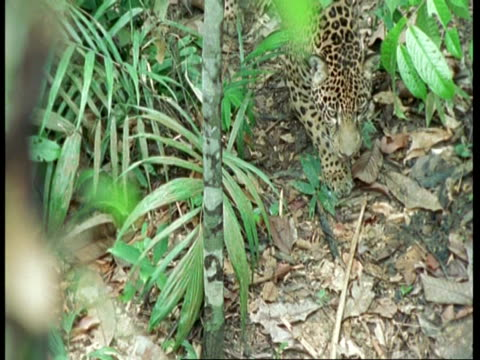 vídeos y material grabado en eventos de stock de ms high angle, jaguar stalking through undergrowth, south america - patrones de colores