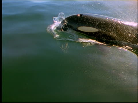 high angle killer whale emerging from water, spouting + submerging - cinematography stock videos & royalty-free footage