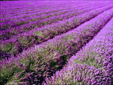 high angle lavender fields blowing in wind / southern france - provence alpes cote d'azur stock videos & royalty-free footage