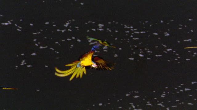 vídeos de stock, filmes e b-roll de high angle pan macaws flying over water + landing on cliff side / tambopata, peru - tambopata