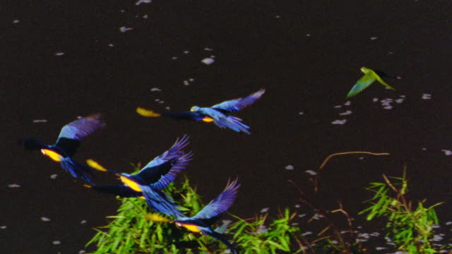 high angle pan macaws flying over water / tambopata, peru - bedrohte tierart stock-videos und b-roll-filmmaterial