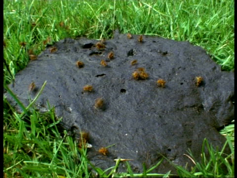 MS High angle, Many Yellow Dungflies (Scatophaga stercoraria) buzzing on cowpat, England