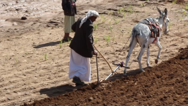 high angle mcu view of yemeni farmers tilling the soil with a donkey. - yemen stock videos & royalty-free footage