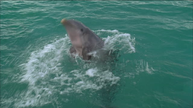 high angle medium shot dolphin sticking head out of water and spinning around / splashing / nassau, bahamas - performing tricks stock videos & royalty-free footage
