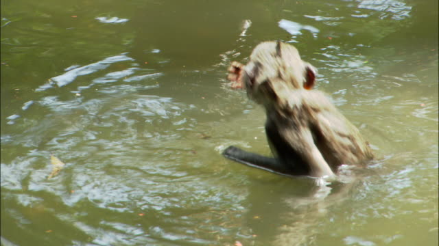 high angle medium shot macaque swimming in water / eating a piece of fruit / diving under surface and swimming away at ubud monkey forest sanctuary / bali, indonesia - ubud stock videos & royalty-free footage