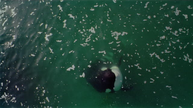 high angle medium shot orca [killer whale] jumping out of water toward cam and opening mouth / splashing back down - tier in gefangenschaft stock-videos und b-roll-filmmaterial