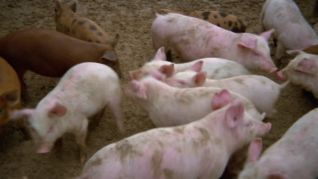 high angle medium shot pan piglets moving around in crowded pen / iowa - piglet stock videos and b-roll footage
