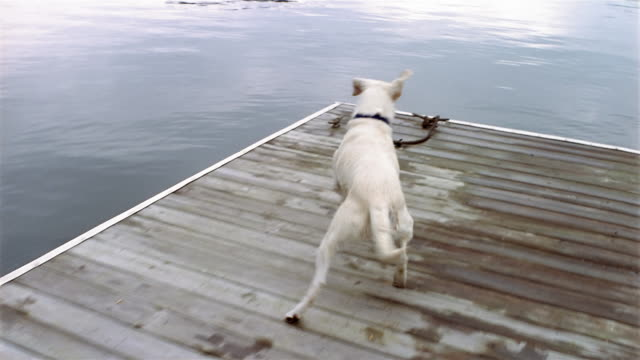 high angle medium shot point of view yellow labrador retriever jumping off dock into lake to fetch stick / swimming to stick - clarkesville stock videos & royalty-free footage