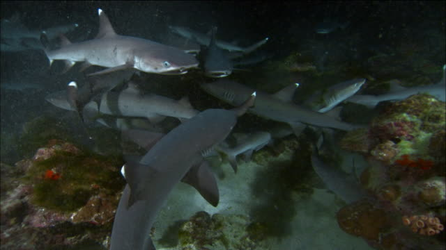 high angle medium shot school of whitetipped reef sharks diving for food in between rocks/ galapagos islands, ecuador - ペレスメジロザメ点の映像素材/bロール
