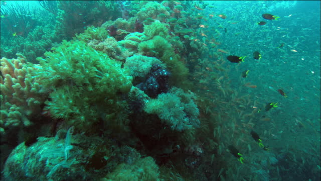 High angle medium shot schools of fish swimming around coral growing on wreck of SS Yongala / Great Barrier Reef
