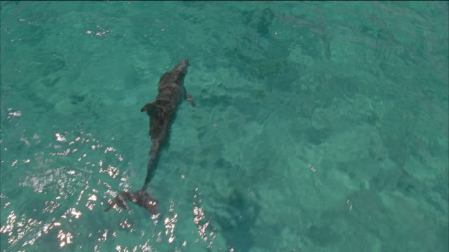 high angle medium shot tracking shot dolphin swimming under the surface of the water / nassau, bahamas - nassau stock videos & royalty-free footage