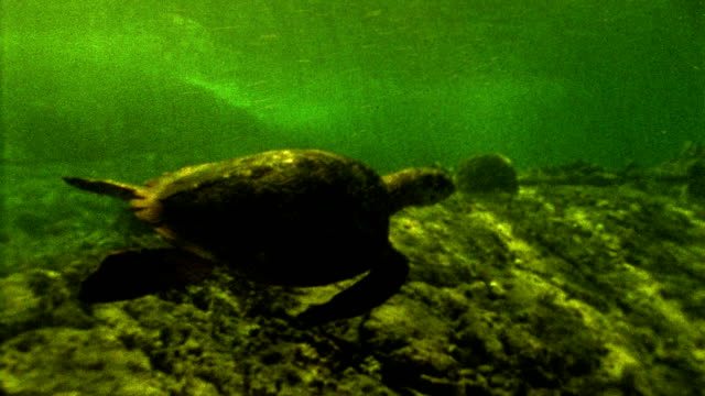 high angle medium shot tracking shot sea turtle swimming underwater - 絶滅の恐れのある種点の映像素材/bロール