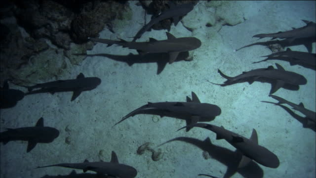 high angle medium shot whitetipped reef sharks swimming near ocean floor / galapagos islands - school of fish stock videos & royalty-free footage