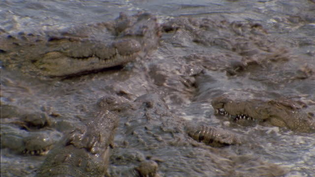 High angle medium shot zoom out crocodiles feeding on zebra in water / Africa