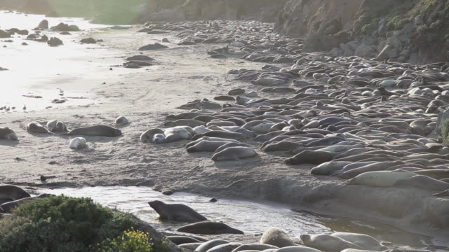 high angle of a colony of elephant seals at point piedras blancas - elephant seal stock videos & royalty-free footage