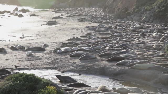 high angle of a colony of elephant seals at point piedras blancas - elefante marino video stock e b–roll