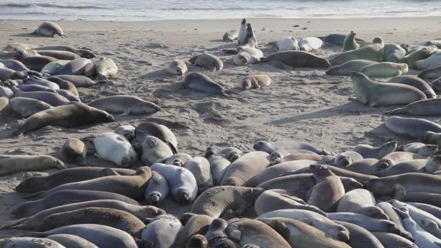 vídeos de stock e filmes b-roll de high angle of elephant seals on the beach playing at point piedras blancas - elefante marinho