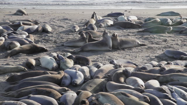 High Angle of elephant seals on the beach playing at Point Piedras Blancas