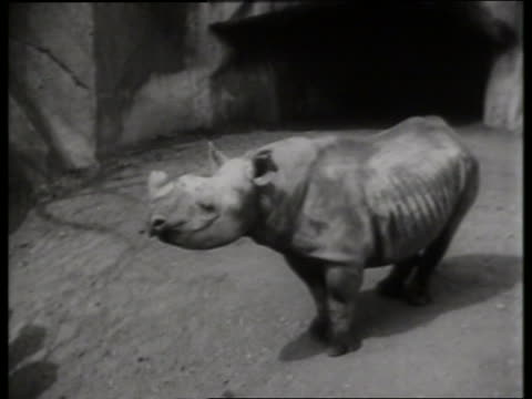 stockvideo's en b-roll-footage met b/w high angle of rhinoceros in zoo - dier in gevangenschap