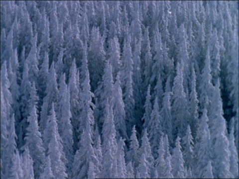 high angle of snow covered pine tree forest - pinacee video stock e b–roll