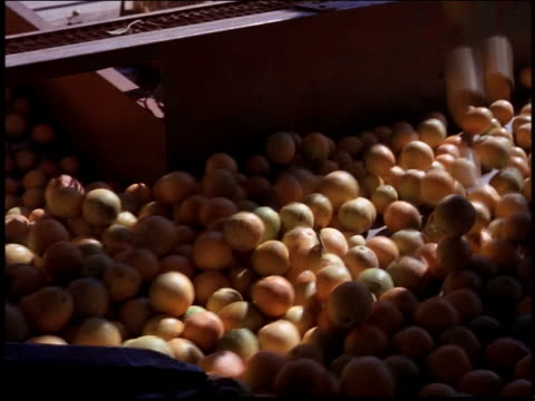 high angle PAN oranges dropping + moving along conveyor belt to workers sorting them / Brazil